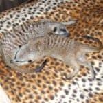 Сурикаты спят на кровати