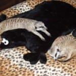 Сурикаты на подушке