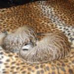 Фото спящих сурикат