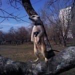 Сурикат на дереве