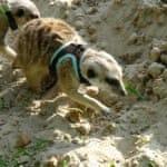 Сурикат копается в песке