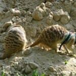 Сурикаты в песке